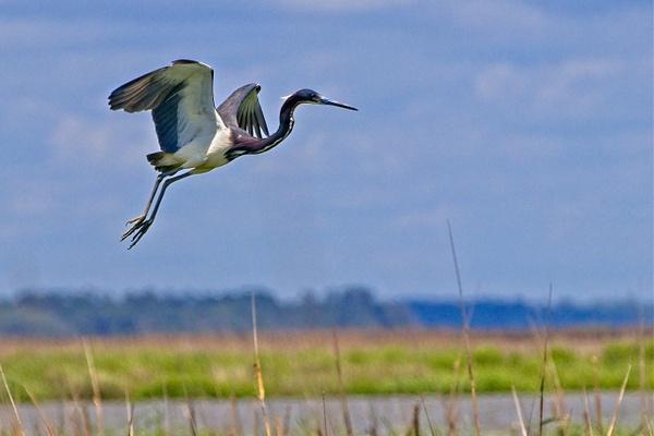 Tri-colored Heron - Nature - Phil Mason Photography