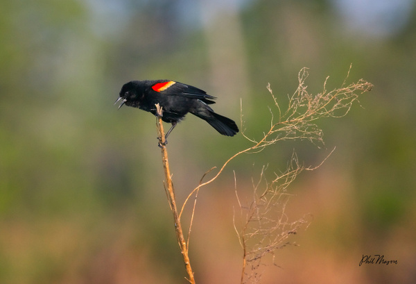 Red-winged Blackbird - Nature - Phil Mason Photography
