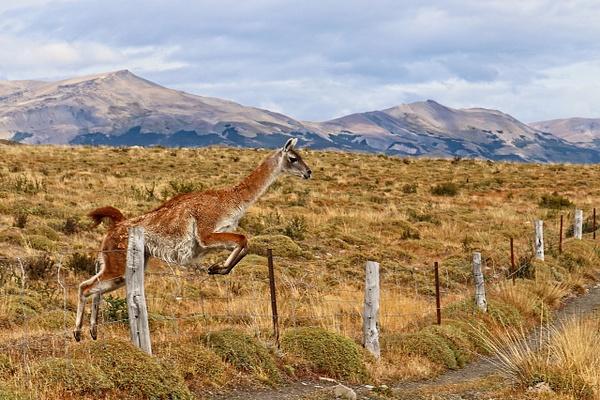 Fence Jumper - Nature - Phil Mason Photography