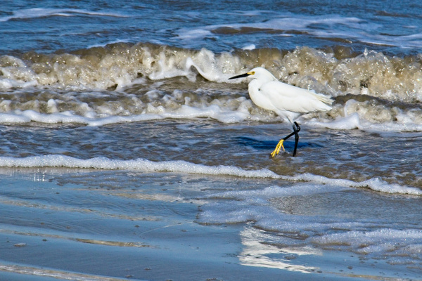 Snowy Egret in Surf - Nature - Phil Mason Photography