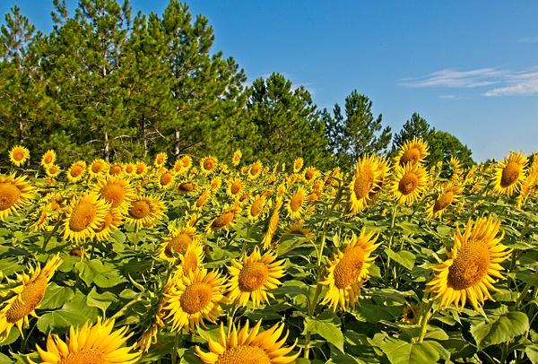 Sunflowers - Nature - Phil Mason Photography