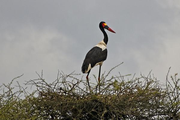 Saddle-billed Stork - Nature - Phil Mason Photography