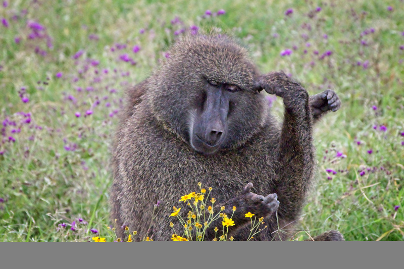 Olive Baboon Mother