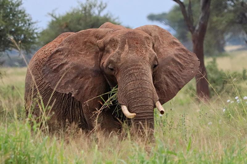 Bull Elephant Feeding