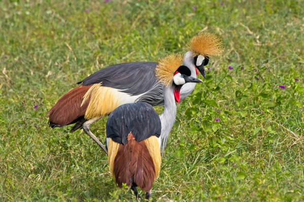 Grey-crowned Cranes - Nature - Phil Mason Photography
