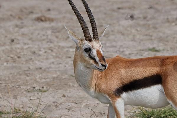 Thomsons Gazelle - Nature - Phil Mason Photography