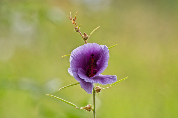 Wildflower Tanzania - Nature - Phil Mason Photography