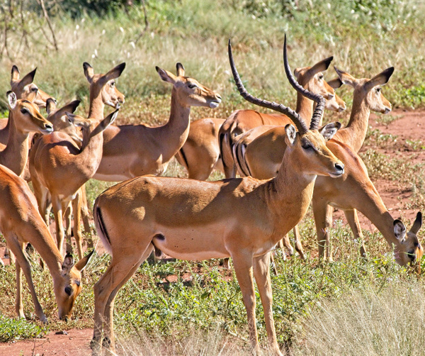 Male Impala and Harem - Nature - Phil Mason Photography