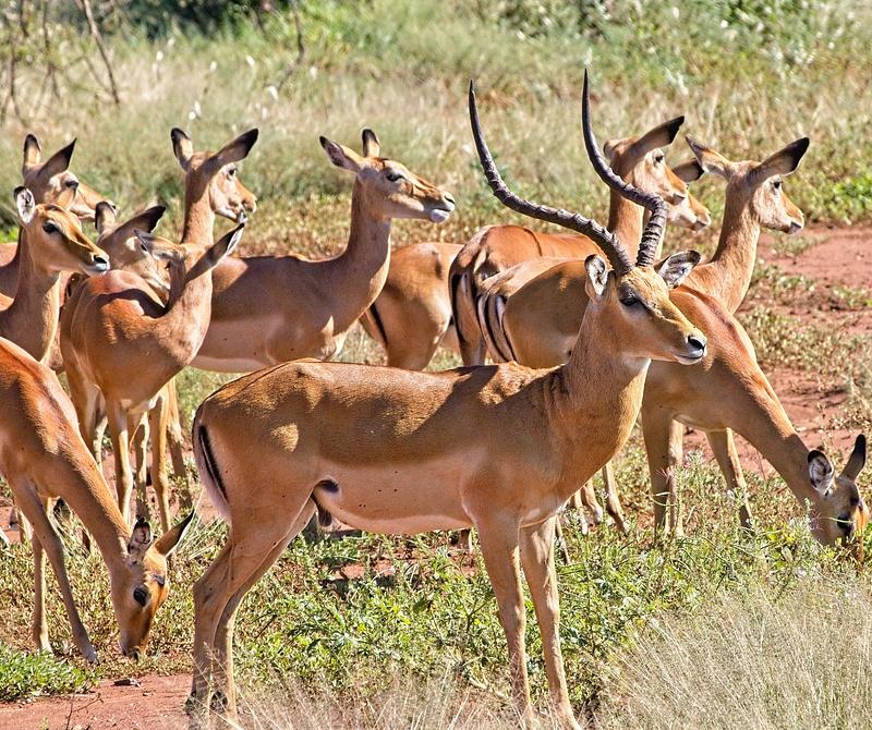 Male Impala and Harem
