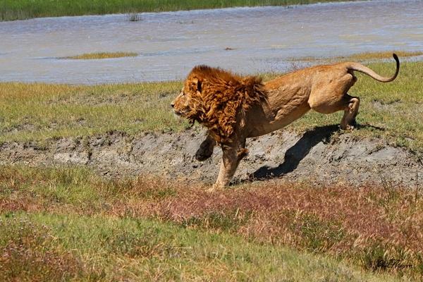 Chasing off a Hyena 1 - Nature - Phil Mason Photography