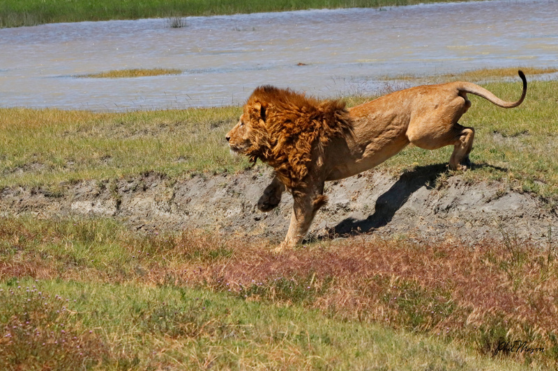 Chasing off a Hyena 1