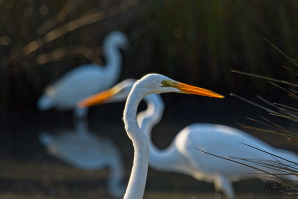 Great Egrets Three - Nature - Phil Mason Photography