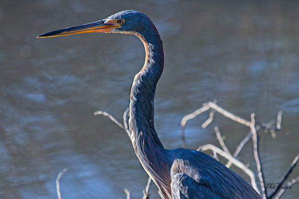 Tricolored Heron - Home - Phil Mason Photography