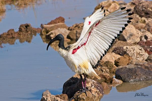 Sacred Ibis Displaying - Nature - Phil Mason Photography