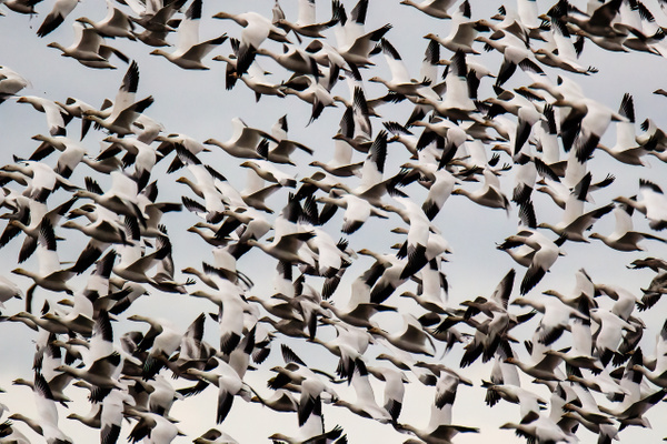 Snow Geese in Mass Flight - Waterbirds - Rising Moon NW Photography