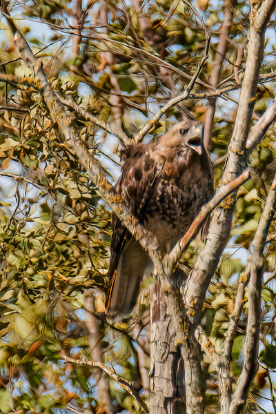 Screeching Hawk - Asking for Dinner? - Eagles & Raptors - Rising Moon NW Photography