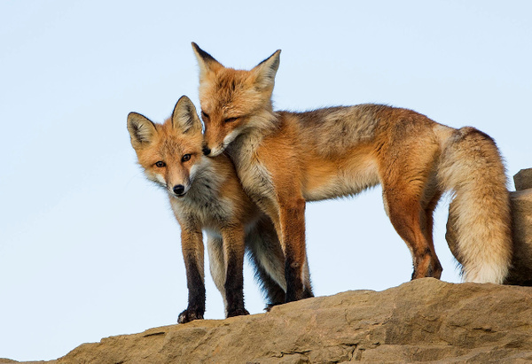Red Fox Mother and daughter_25_06_2013NB_73A0433 - Foxes - Walter Nussbaumer Photography
