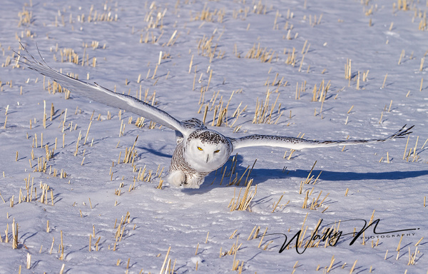 Snowy Owl_02_02_2013_IMG_5654 - Snowy Owl - Walter Nussbaumer Photography
