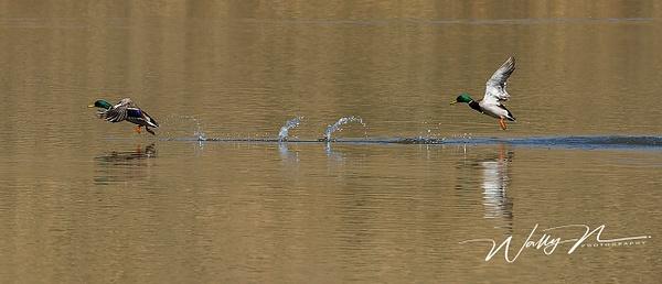 Mallards_073A6785 - Waterfowl - Walter Nussbaumer Photography