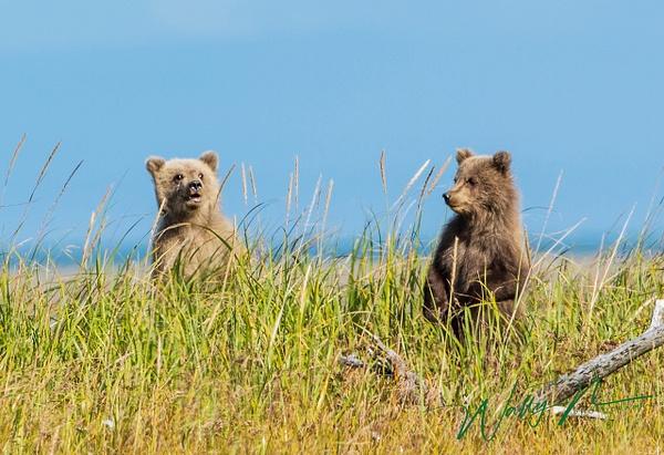 BBCUBS_73A9553 - Bears - Walter Nussbaumer Photography