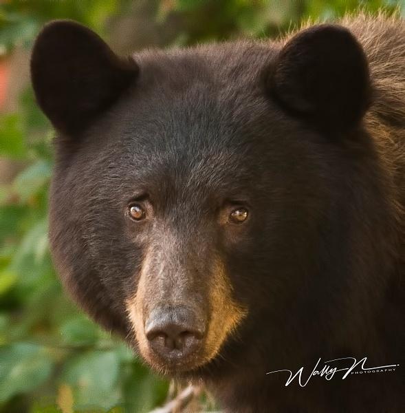 Black Bear Sow_0011 - Bears - Walter Nussbaumer Photography