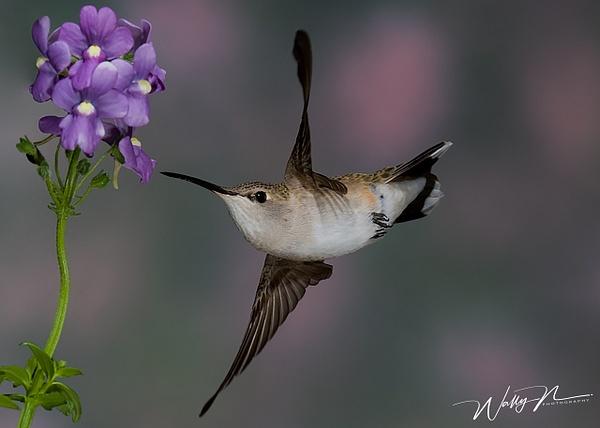BCVF_F3O0193 - Hummingbirds - Walter Nussbaumer Photography