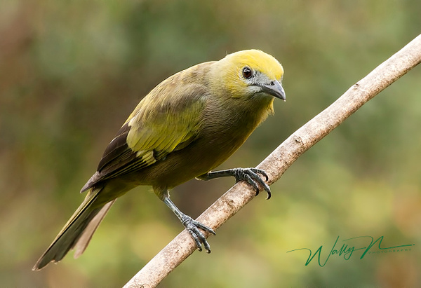 Palm Tanager_F3O5003 - Tropical Birds - Walter Nussbaumer Photography