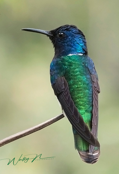 Male white necked Jacobin - Hummingbirds - Walter Nussbaumer Photography