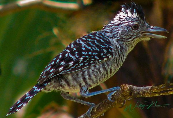Barred Antsrike M_0529 - Tropical Birds - Walter Nussbaumer Photography