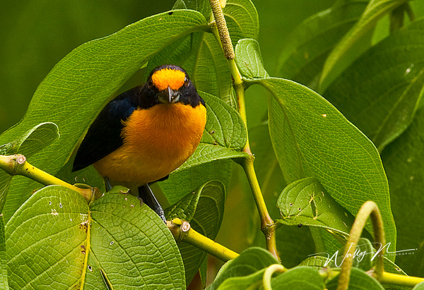 Trinidad  Euphonia.3O5220 - Tropical Birds - Walter Nussbaumer Photography