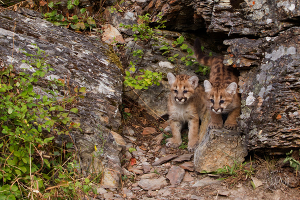 Mountain Lion CubsB_MG_6598 - Additional Files - Walter Nussbaumer Photography