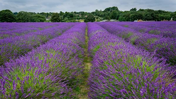 London lavender - Landscape - Michel Voogd Photography