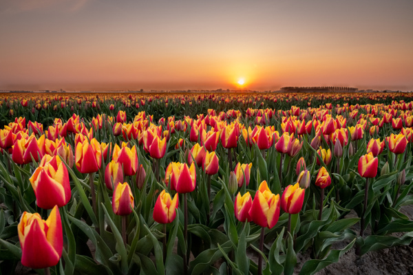 tulips at sunset - Landscape - Michel Voogd Photography
