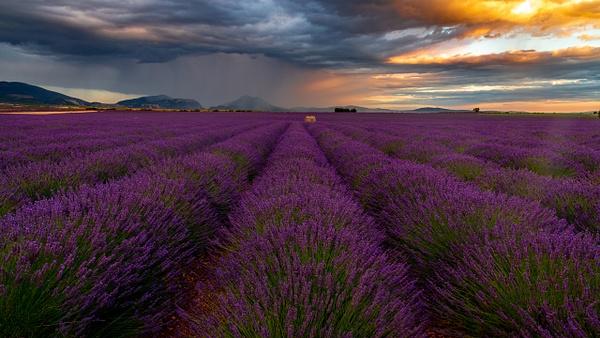 Valensole lavender - Landscape - Michel Voogd Photography
