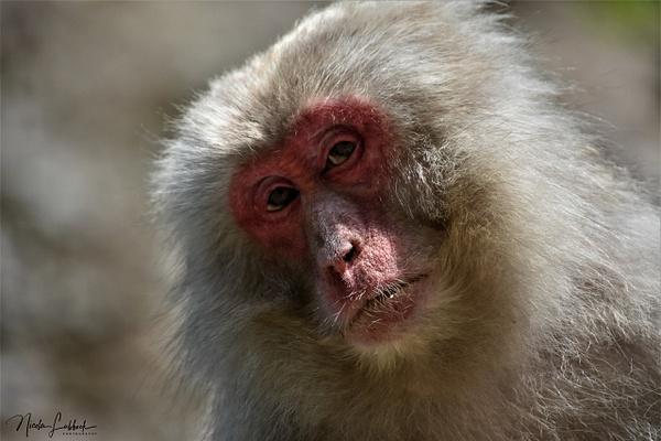 Snow Monkey Gaze - Nature - Nicola Lubbock Photography