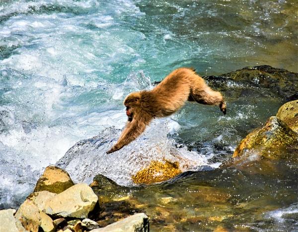 Leaping Snow Monkey Japan - Nature - Nicola Lubbock Photography