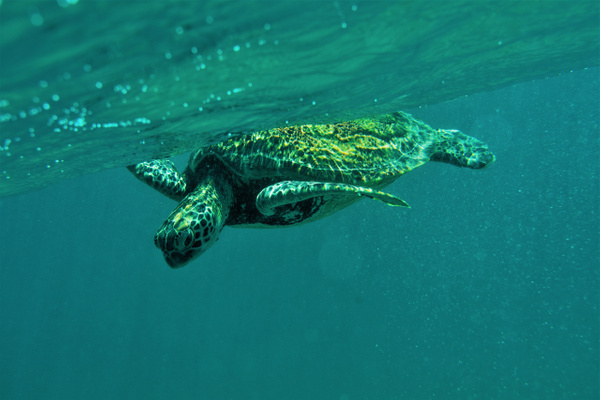 Green Turtle Australia - Nature - Nicola Lubbock Photography