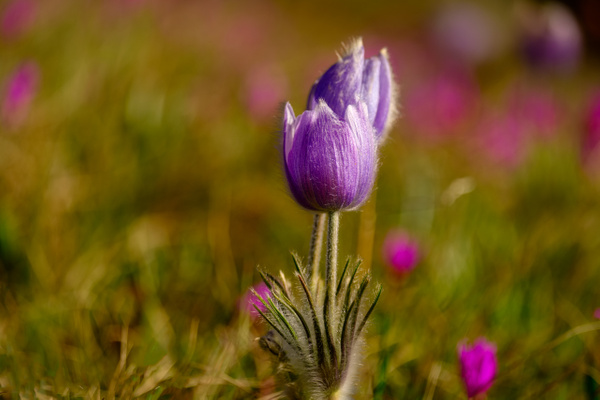 Crocus - 1 - Nature From The Canadian Rockies - Yves Gagnon Photography
