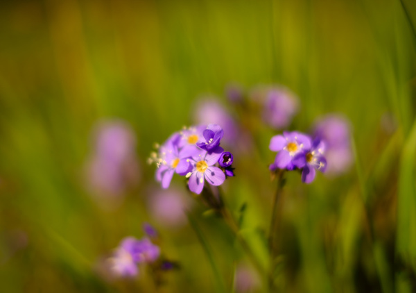 Blue Flax or Linum lewisii - Nature From The Canadian Rockies - Yves Gagnon Photography