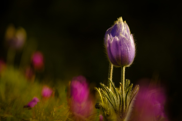Crocus - 3 - Nature From The Canadian Rockies - Yves Gagnon Photography
