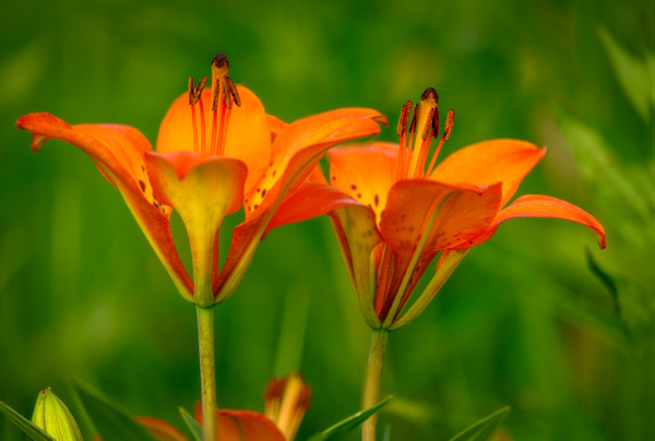 Wild Lily Tiger Flowers - Nature From The Canadian Rockies - Yves Gagnon Photography