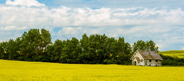 Old  Homestead House Sitting in a Canola field Panorama. - Panoramic - Yves Gagnon Photography