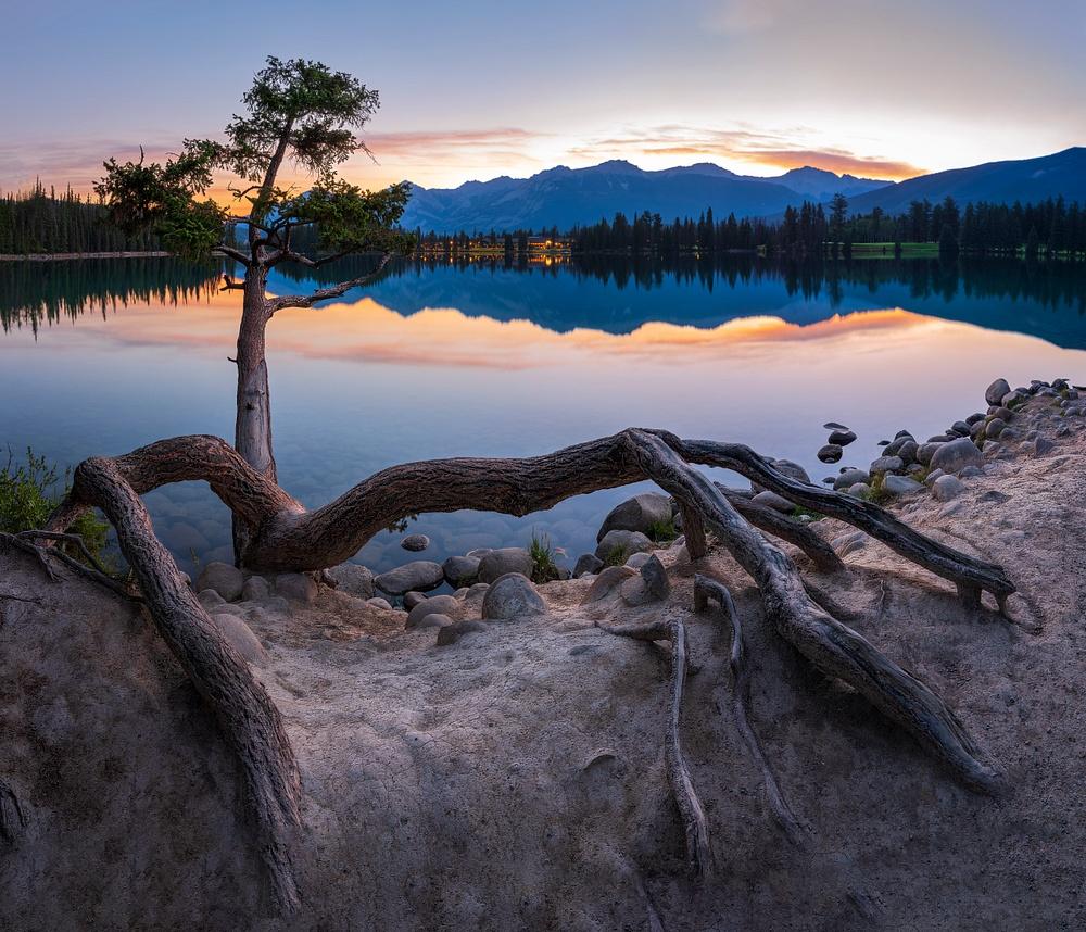 Close up Curved Pine Tree Sunrise, Jasper National Park, Alberta, Canada