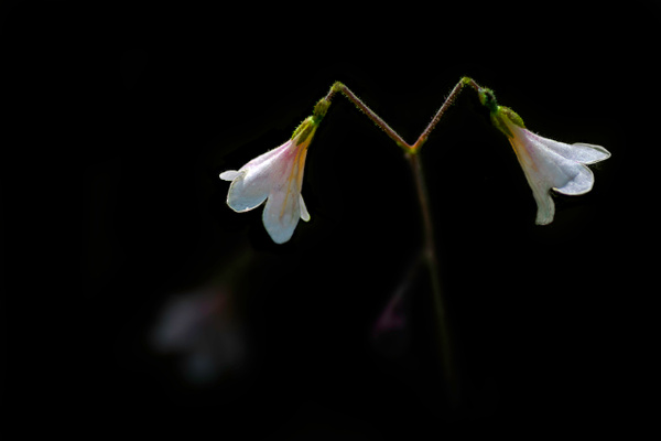 Beautiful Mini Lilly by Snowkeeper