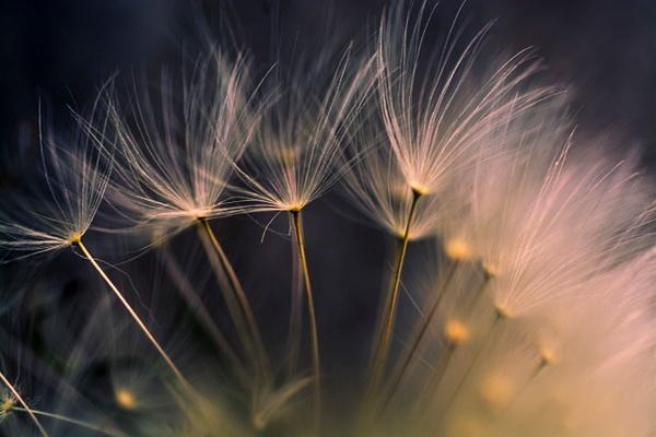 Dandelion Soft by Snowkeeper