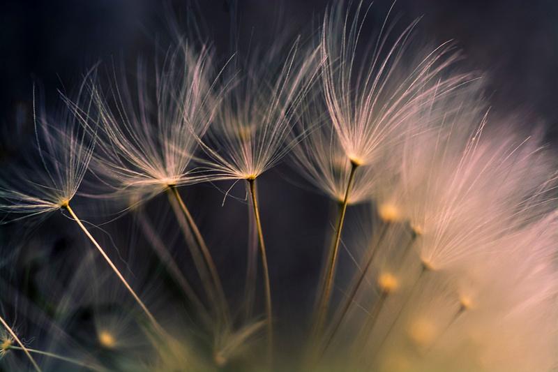 Dandelion Soft