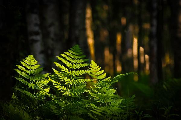 Sunlit Fern Forest