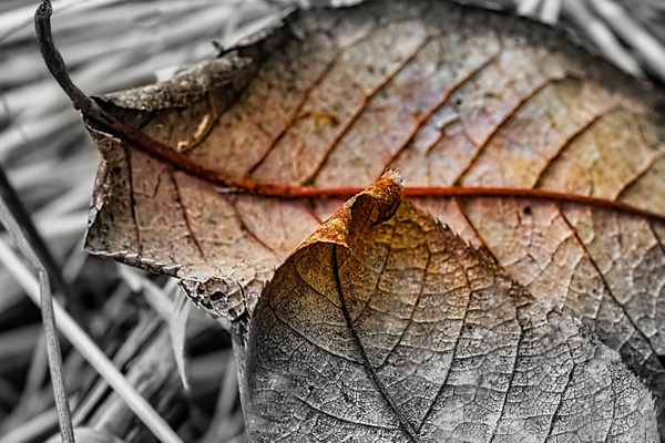 Two Leaves BWC by Snowkeeper