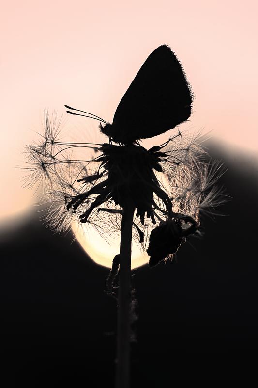 Moth Sunset pink