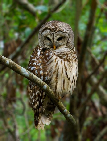 Owl - Animals - Jack Smith Studio